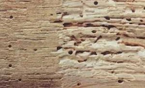 Woodworm in Timber