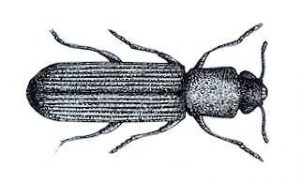 Powderpost Beetle