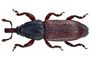 Wood Boring Weevil